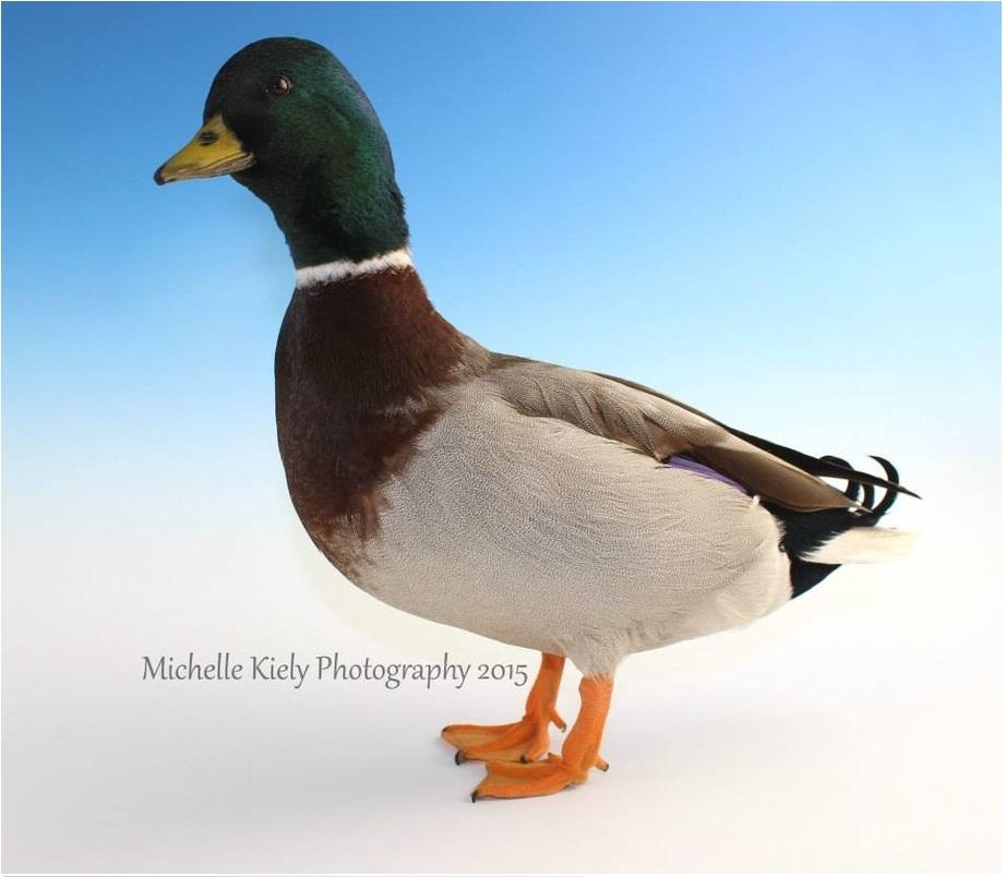 4.6 Call Duck Full